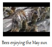 Bees_in_May